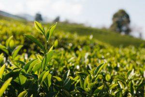 お茶 生産量